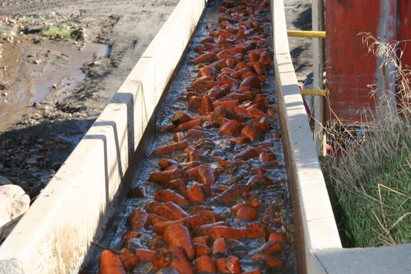 Carrots in canal